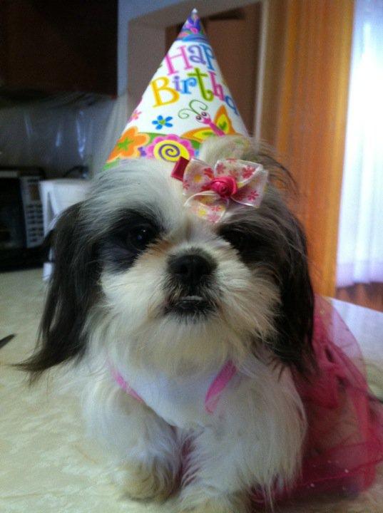 Happy Birthday Gracie Lu Gracie Lu Shih Tzu
