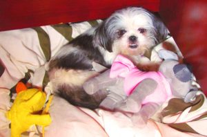 Cute Shih Tzu Photo