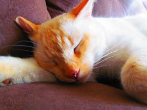Male Flame Point Siamese Cat