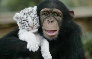 Cute Animal Photo: Tiger and Monkey Can Be Friends