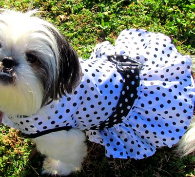 Stylish Shih Tzu Fashionista