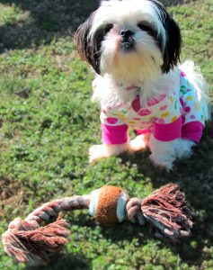 shih tzu puppy wants to play
