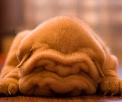 Photo of the Day: Cutest Shar Pei Puppy EVER!