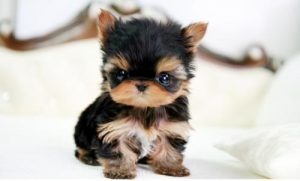 Seriously Cute Yorkie Puppies