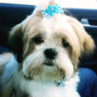 The Dating Game – Shih Tzu Style, Part 1