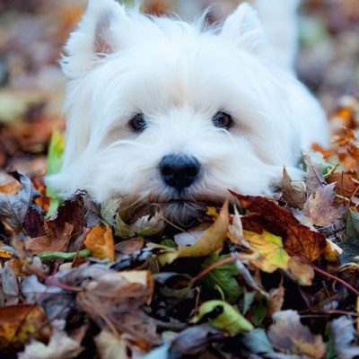 Gorgeous Westie on Fall Leaves