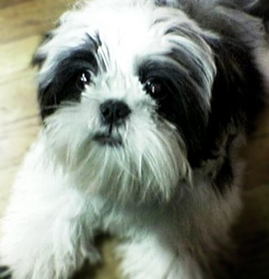The Bachelors' Answers (The Dating Game – Shih Tzu Style, Part 2)