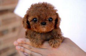 poodle mix puppy