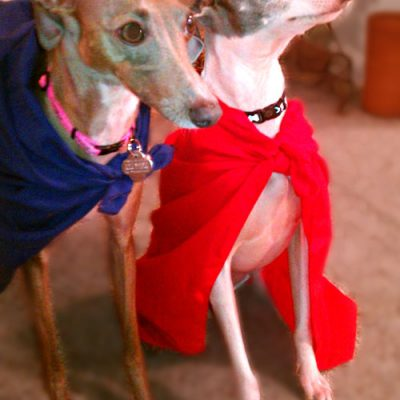 Meet Vincent and Gino – Two Beautiful Italian Greyhounds