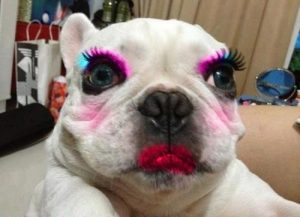 Poor English Bulldog in Make-Up