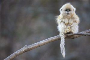 Baby Snub-Nosed Monkey – So, So Cute