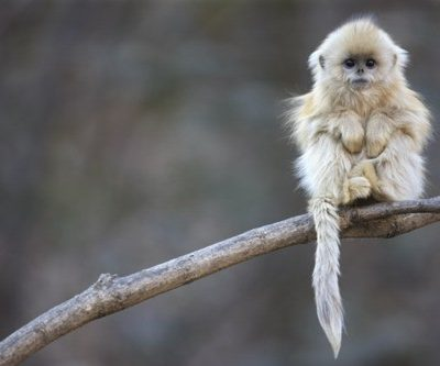 Baby Snub-Nosed Monkey – So, So Cute