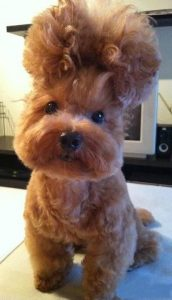 dog hairstyle