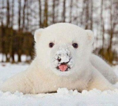 Oh So Cute – Baby Polar Bear Has Snow on His Nose
