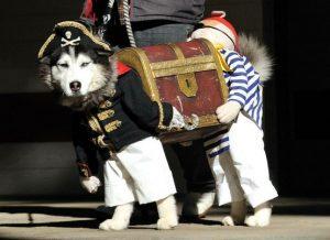 Pirate Husky