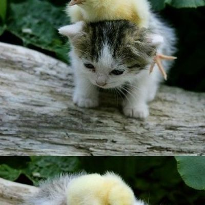 So Cute – Baby Chick and Kitten Cuddling