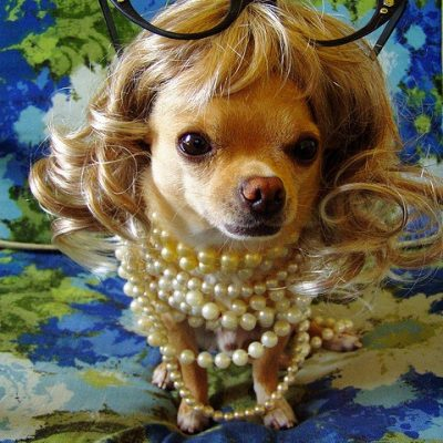 Cutest Chihuahua in Pearls and Blonde Wig