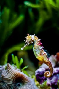 Beautiful Rainbow Seahorse