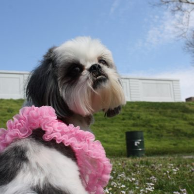 A Pretty Shih Tzu at the Park