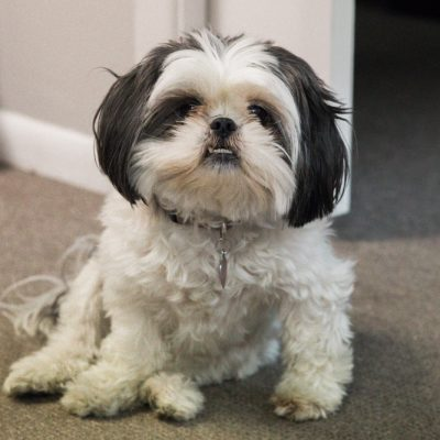 An Adorable Shih Tzu Face